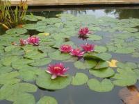 155 Jardin Aquatique  Bambouseraie 15 09 15 [800x600]